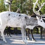 reindeers in Lapland