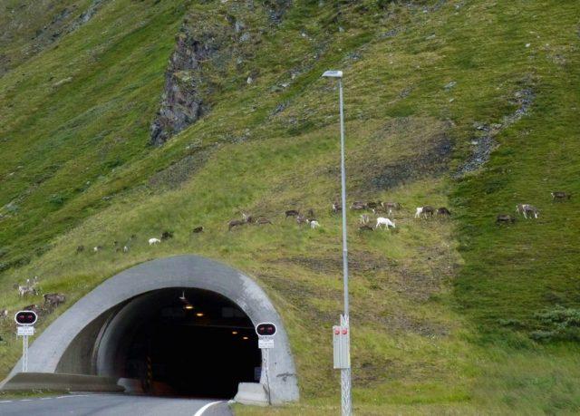 nordkapp tunnel, reindeer