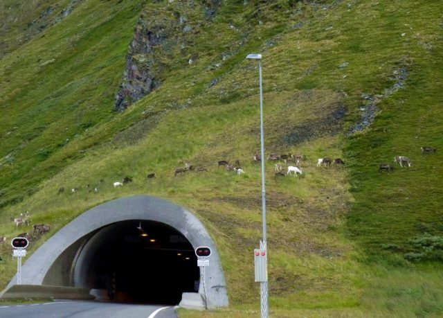 a tunnel on the way to Nordkapp. Reindeer on mountain