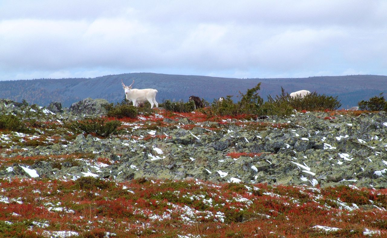 Reindeer at Aakenus fell in Yllas-Pallas national park Finland, Lapland, north Europe.